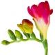 Fresia: Alla Scoperta del Fiore